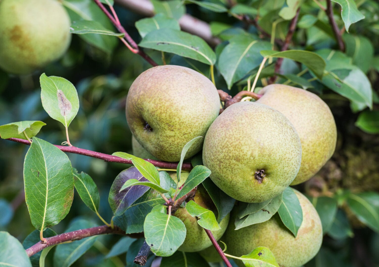 Closeup of almost ripe pears
